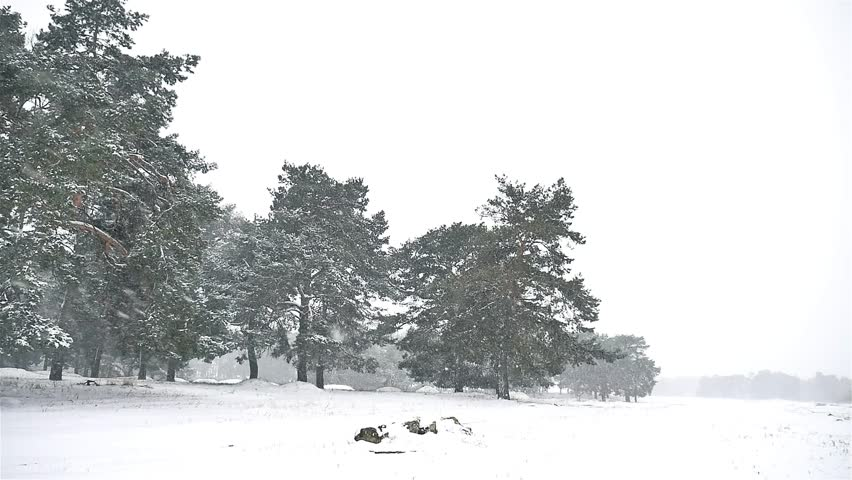 Snowstorm Blizzard In The Nature Woods Snowing Winter, Christmas Tree And  Pine Forest Landscape