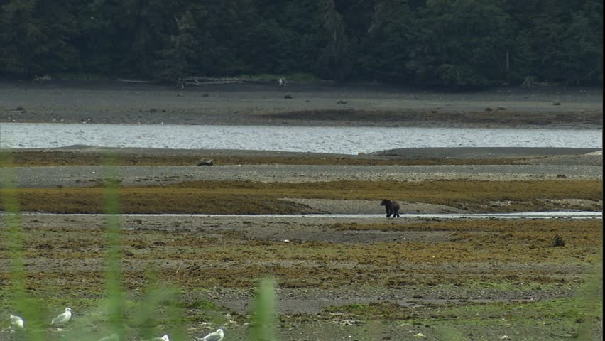 grizzly bear walking up tidal flat