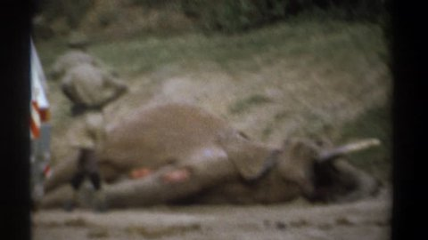 KENYA 1969: a man in safari clothes examines a dead elephant with badly torn skin and a sunken appearance