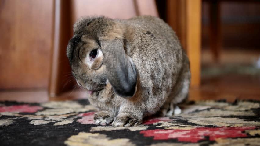 Cute Home Rabbit is Eating Banana Indoor (Close-Up Shot)