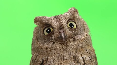 European scops owl on green screen