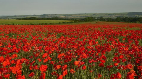Red Poppies In Field; Scarborough North Yorkshire. England