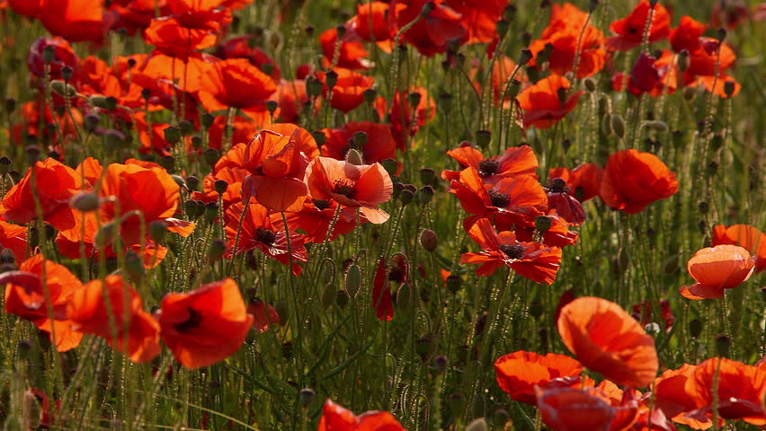 Red Poppies & Pods; Scarborough North Yorkshire. England