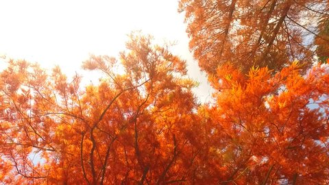 Strong orange-red colors of larch needles in the early autumn.