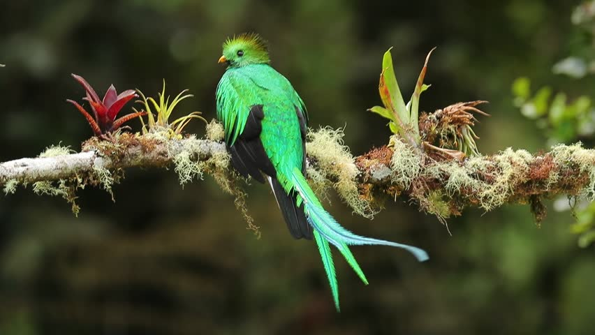 Magnificent sacred green and red bird Resplendent Quetzal, Pharomachrus mocinno, from Savegre in Costa Rica with very long tail. Bird from tropic mountain forest.