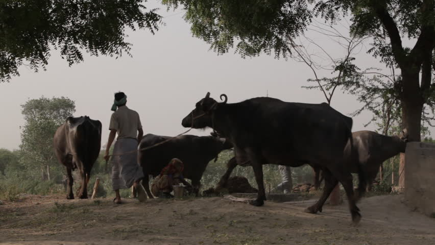 CIRCA 2011: WS Woman surrounded by cows making dung patties / Agra, India #22471138
