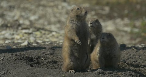 Ground Squirrel Family Sit on Its Hind Legs at the Hole. Rodents Burrowing Tunnel. Wildlife in the Field or Desert. Small Piles of Loose Soil Covering the Entrances. European Souslik, Spermophilus