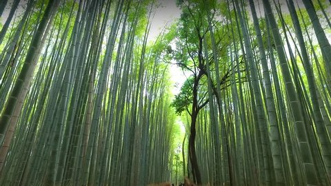 KYOTO, JAPAN-CIRKA May 2016:Bamboo grove, bamboo forest at Arashiyama, Kyoto, Japan
