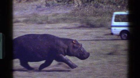 MARA TANZANIA 1983: a hippo running fast beside a car