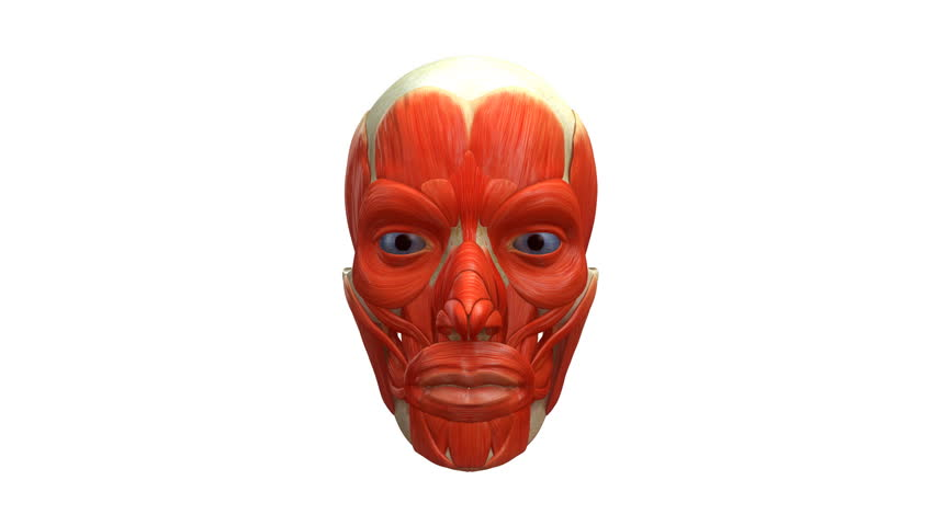 Facial muscles anatomy Royalty-Free Stock Video in 4K and HD ...