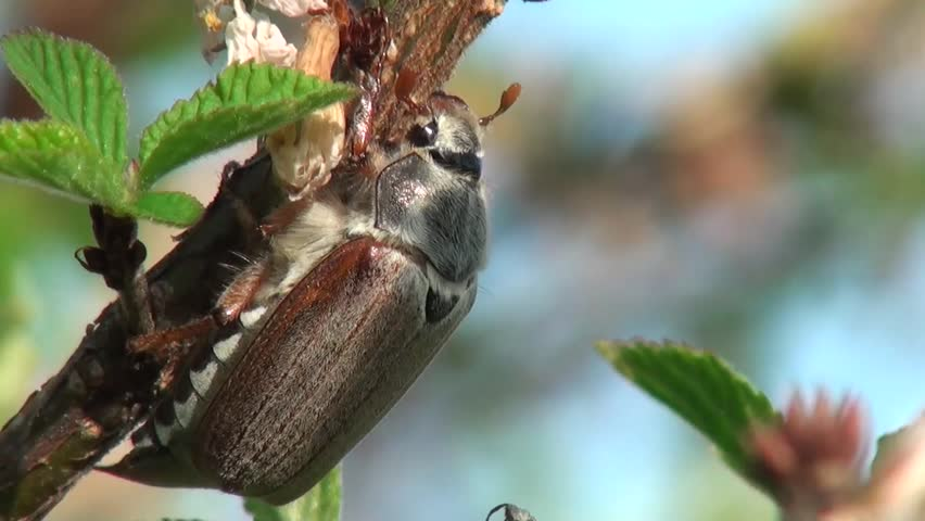 May beetle eats the leaves on the apple