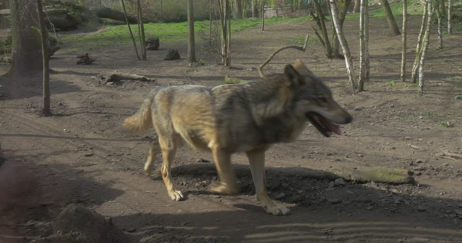 Wolf Is Running Trotting Through Footpath On Dry Ground Passing By Camera