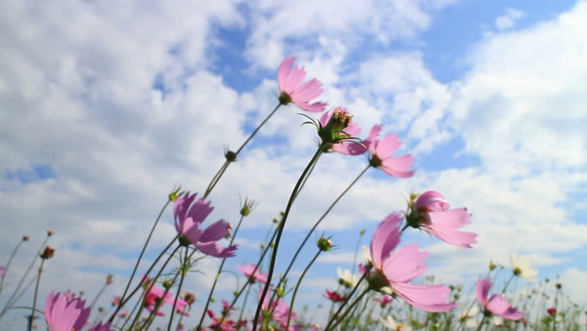Purple, pink, red, cosmos flowers in the garden in vintage style soft focus. #22692052