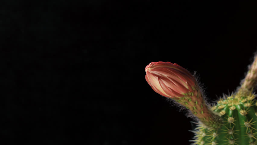 Hummingbird feeding on a Blooming Cactus Macro Time Lapse | Shutterstock HD Video #22714318