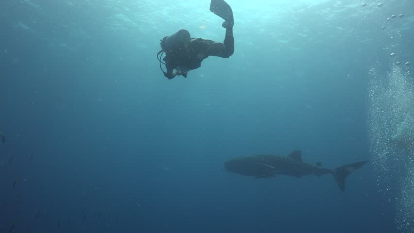 Whale shark swims far away , 3 divers try to swim close to it | Shutterstock HD Video #22717924