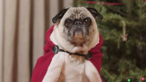 A cute pug dog in a red Christmas cape or cloak sits in front of a decorated tree. Shot in 4K UHD.