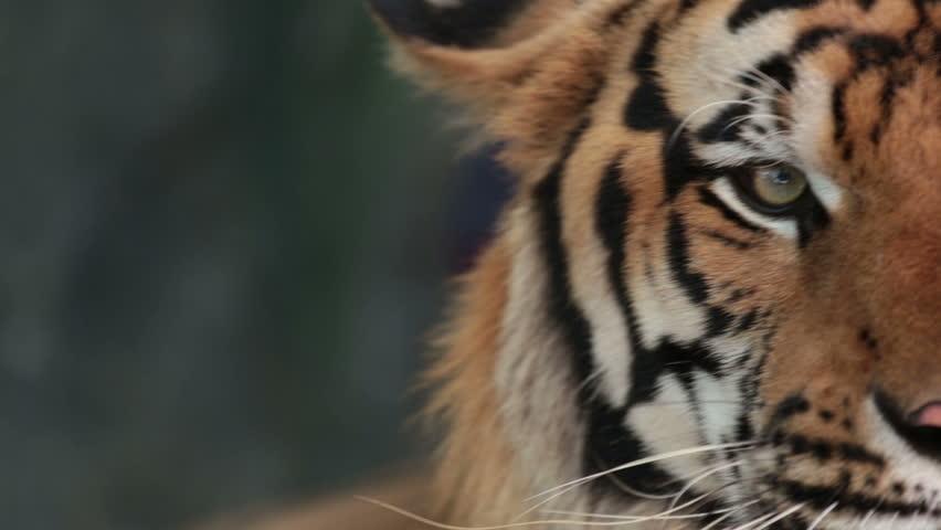 Close Up Of Sumatran Tigers Eye Stock Footage Video - 24 detailed close ups of animal eyes