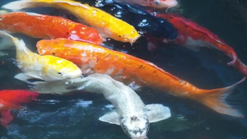 「carp colorful」の画像検索結果