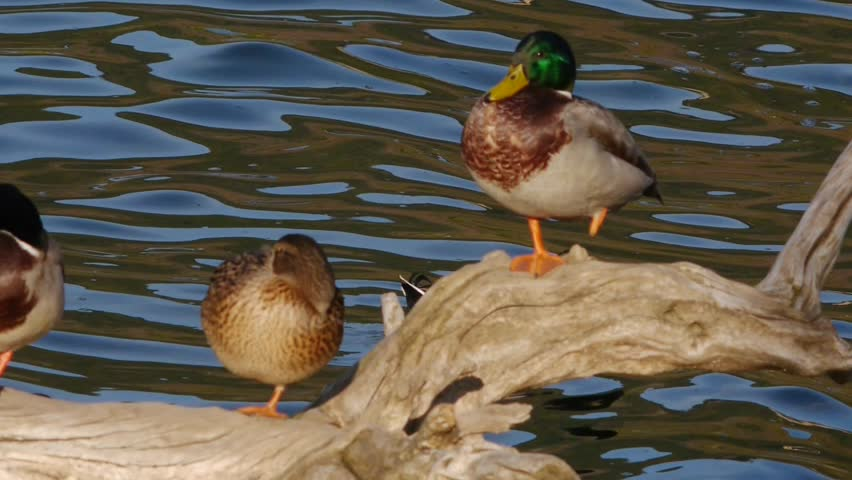 Ducks balancing on a single leg on a tree branch in water
