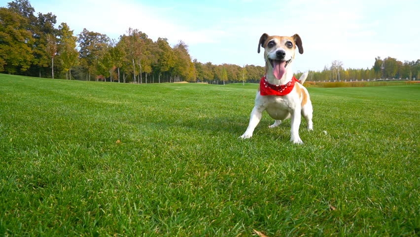 Pretty Crazy Jack Russell Terrier active pet with red Kerchief accessory waiting for play excitedly jumping dancing. impatiently fast running on the green field   #22932208