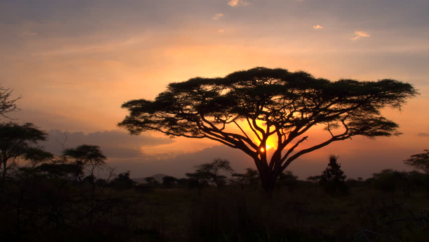Golden light sunset in lush savannah acacia woodland scenery. Silhouetted trees against bonfire-red and sunflame-golden sky in breathtaking Africa in pristine Serengeti national park wilderness