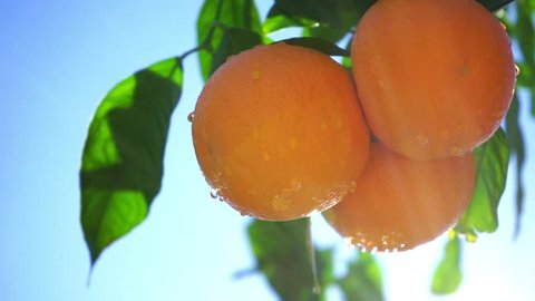 Fresh oranges fruit waving against the sky and the sunlight is coming through.