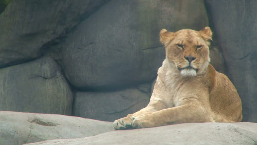 Full grown female lion resting on rocks, looking around. #2304008