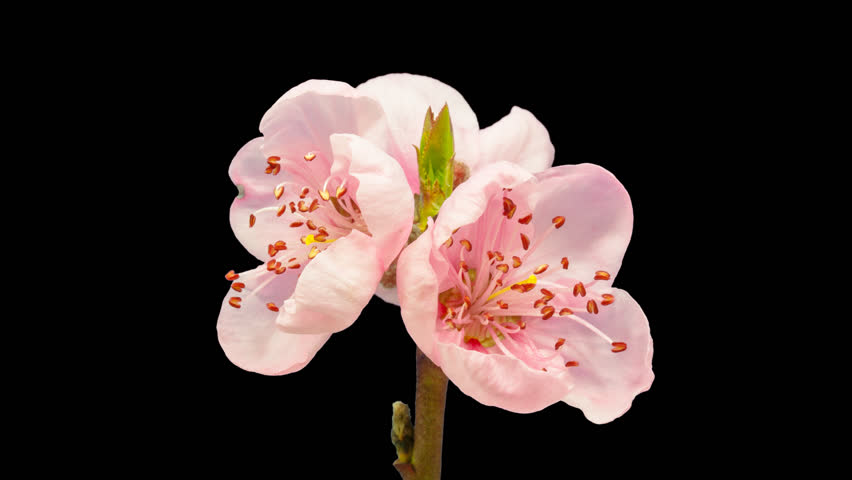 Pink peach flower tree timelapse isolated with alpha channel, encoded with photo png. 4k video/Peach flower timelapse isolated