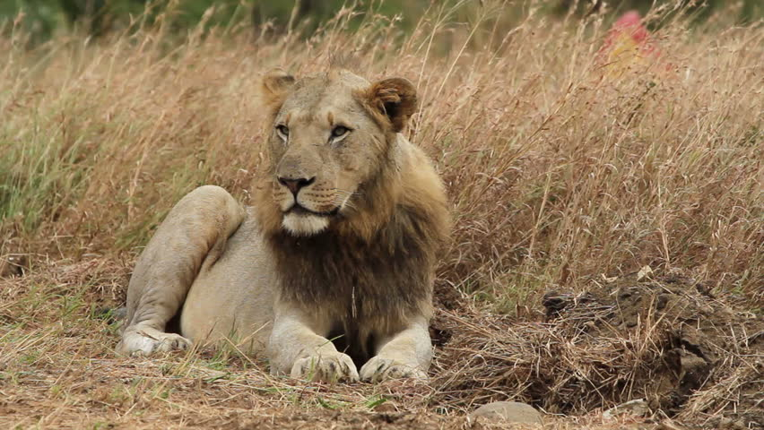 Male lion sitting in the long grass