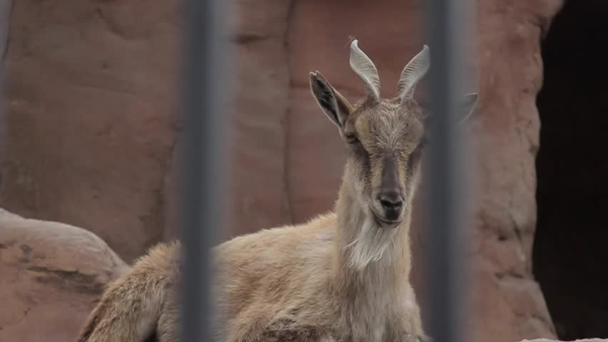 Markhor in the Zoo