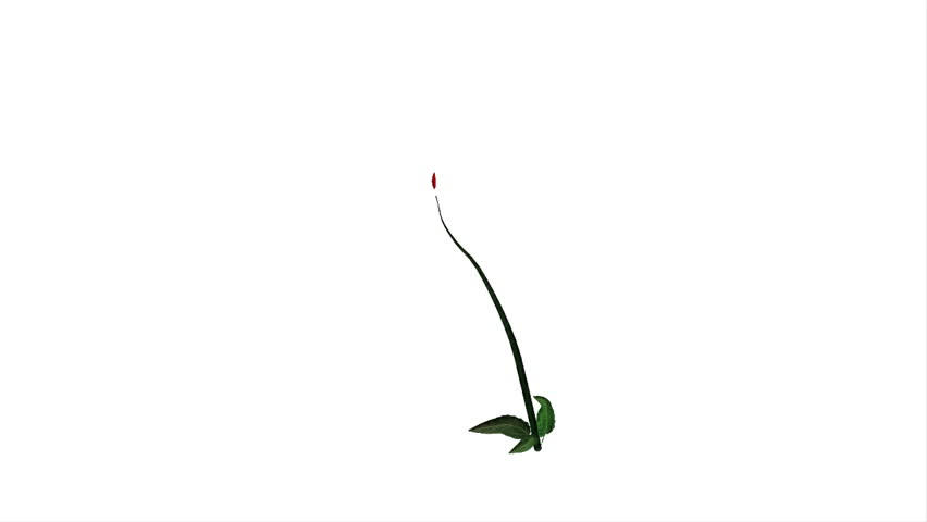 Red dahlia growing animation against white background
