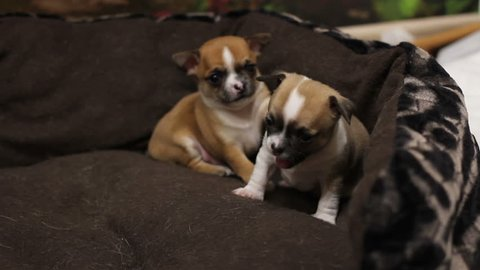 Ginger and grey puppies of chihuhua funny plays in big brown basket