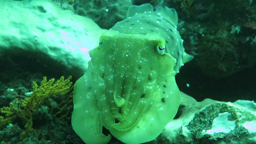 Wild cuttlefish hiding and running in the clean blue water | Shutterstock HD Video #23142838