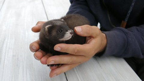 Man is holding the European polecat (Mustela putorius) — also known as the black or forest polecat, or fitch.