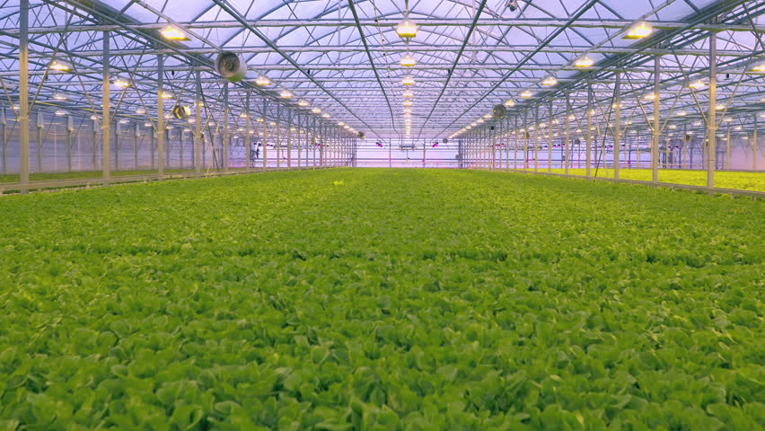 Aerial - Fresh organic lettuce growing in a greenhouse hydroponics