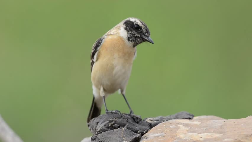 Eastern or Stejneger's Stonechat (Saxicola stejnegeri) brown with camouflage to black head bird searching for worm meal on the rock | Shutterstock HD Video #23326018