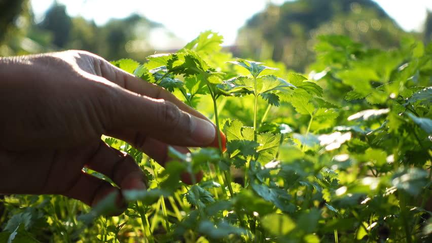 Close up of human harvesting coriander in an organic veggie garden