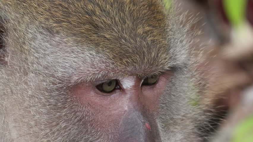 Close up of wild rhesus monkey head in natural setting, chewing, looking around.