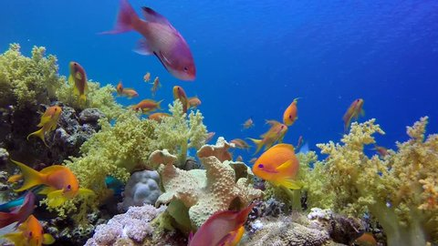 Underwater Colorful Fishes with Blue Water Background. Picture of a wonderful and beautiful underwater colorful fishes and corals in the tropical reef of the Red Sea, Dahab, Egypt.