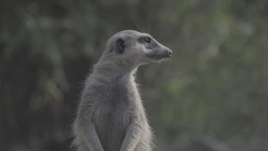 Little brown meerkat alert watch out for danger : 4K Ungraded flat profile Log file out of camera | Shutterstock HD Video #23545498
