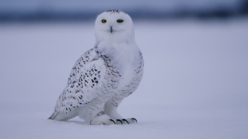 Snowy Owl turning his head in slow motion