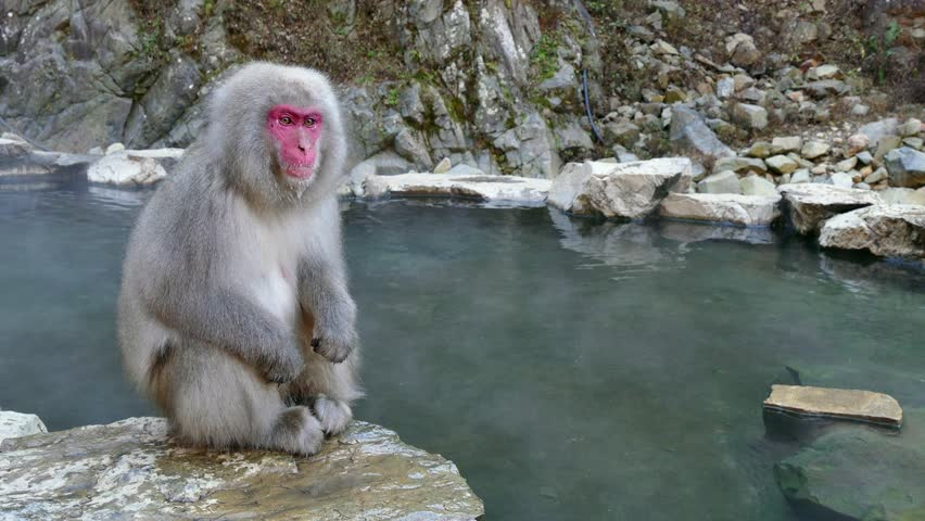 Snow Monkeys Or Japanese Macaques Stock Footage Video 100 Royalty-Free 23687908 -2618