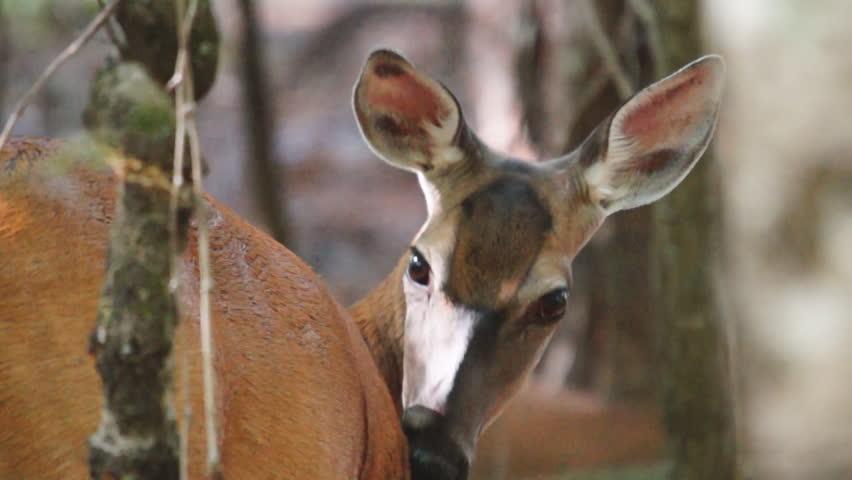 Whitetail Deer pregnant female, Whitetail Deer (Odocoileus virginianus) in
