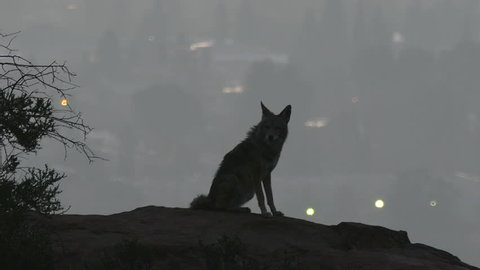 Coyote on rock howling at Los Angeles before dawn.