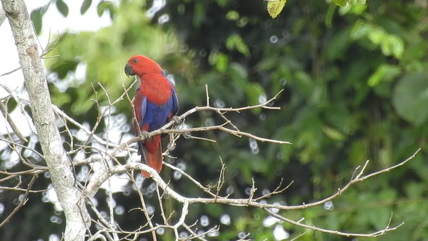 A female Eclectus parrot poo while sitting on a dead tree. Its red and blue colour are very contrast against green leaves at the background