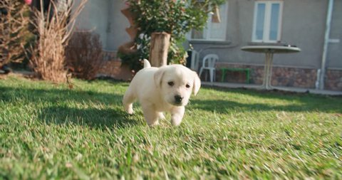 puppy labrador retriever in the farm yard for a walk on a Sunny day,dog slow motion running