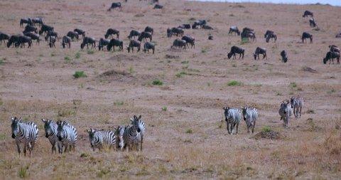 Burchell's Zebras Migrating; Maasai Mara Kenya Africa
