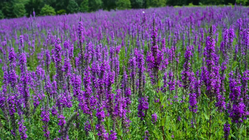 Willow Herb Hd Stock Video Clip