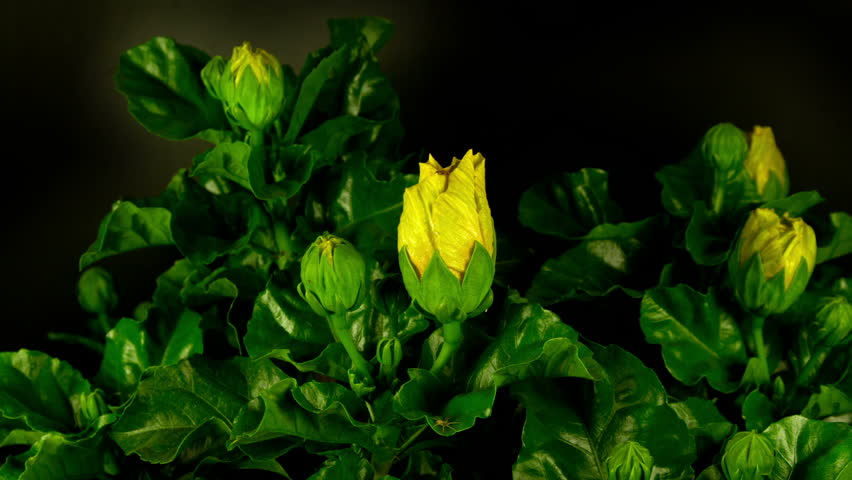 a yellow hibiscus flower filmed growing over 3 days