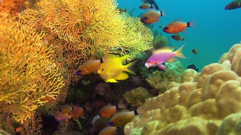 coral reef with mixed fish Negros Philippines